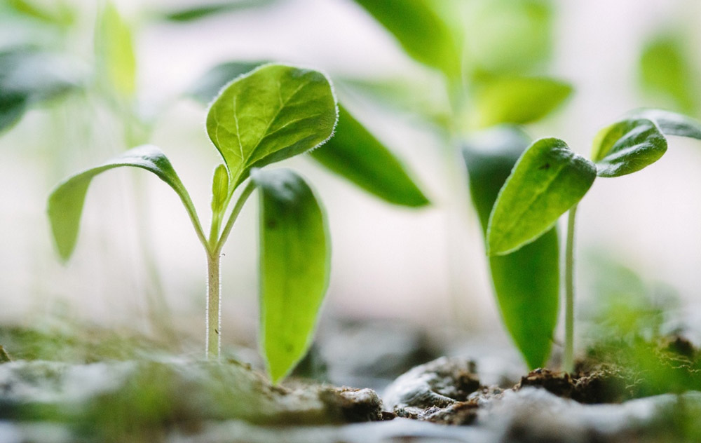 Sprouts Leaves